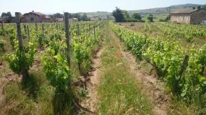 Résultat en 2015 des vignes transformée en 2003 - arrachage 1/3 des rang et palissage.